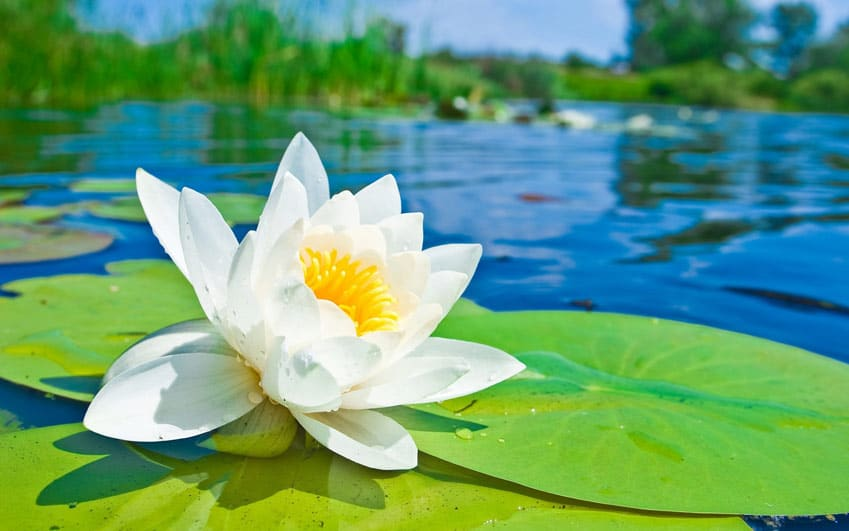This flower is a great addition for ponds and other water features as it prospers well in these conditions. It's breathtaking white petals are sure to ...